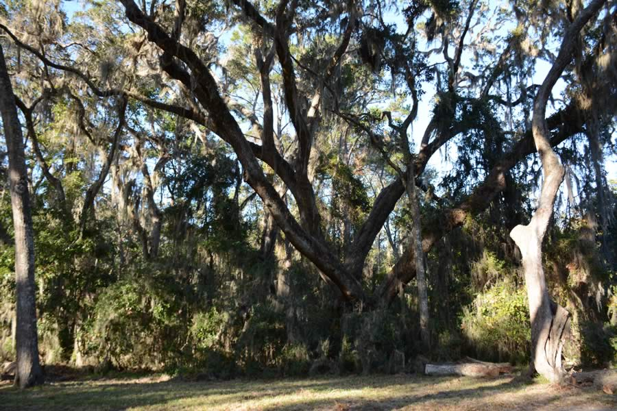 44_60_Acres_St_Simons_Island_GA_Old_Growth
